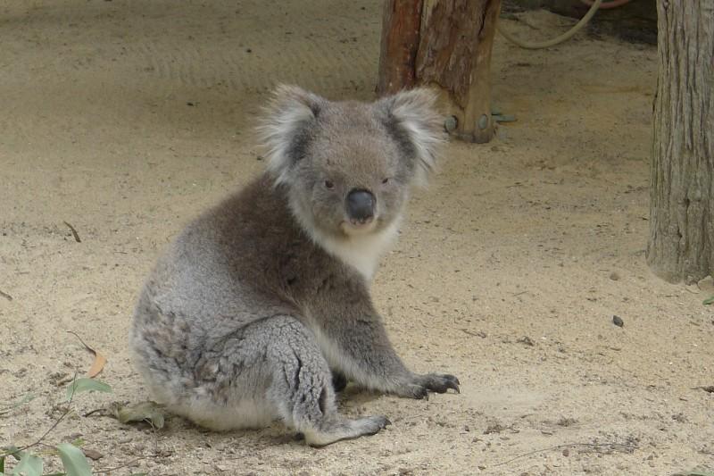 koala-1186186_1280