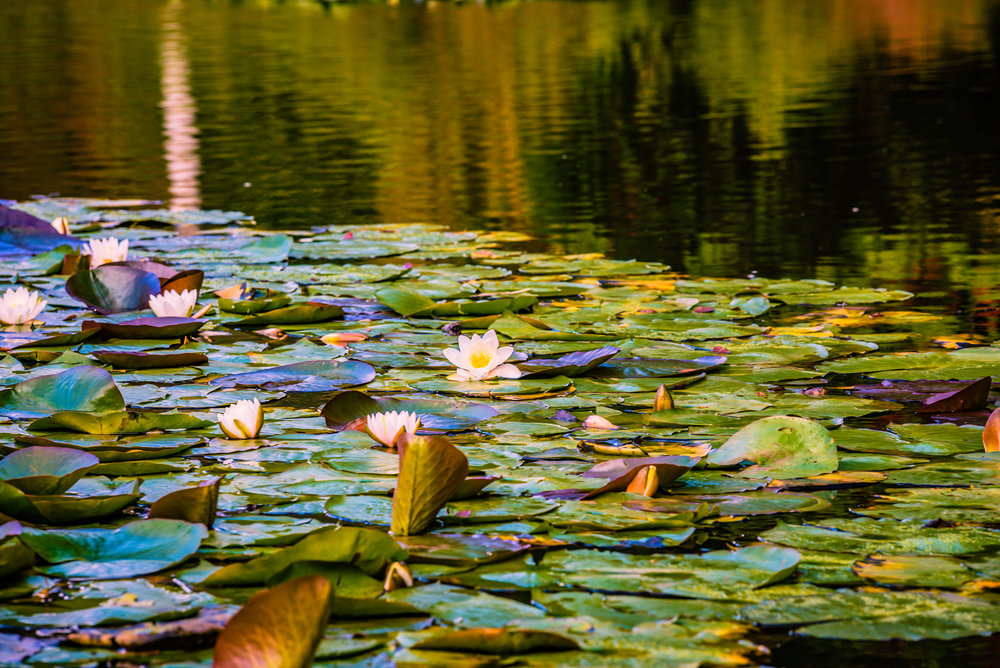 Waterlily  | Sheffield Park, East Sussex