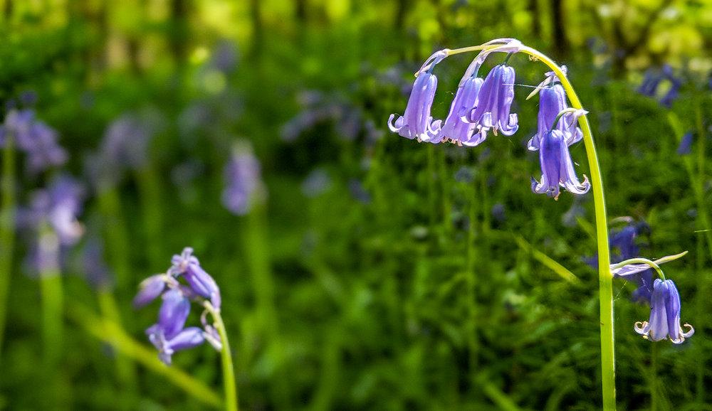 Beautiful Bluebell  | Uckfield, East Sussex
