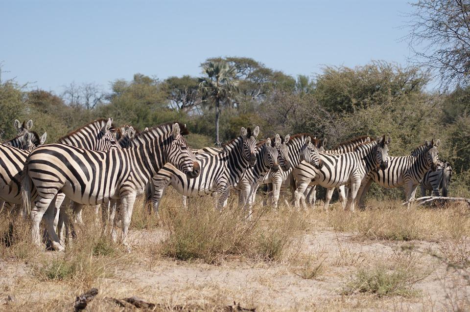 BotswanaZebras_1.jpg