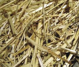 corn-stalk.jpg