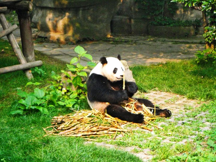 National Panda Research Center Chengdu China.jpg