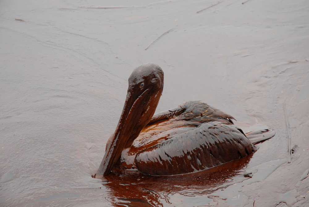 A brown pelican, only recently removed from the endangered species list, swims in oil in the Gulf. (Photo - Louisiana GOHSEP)
