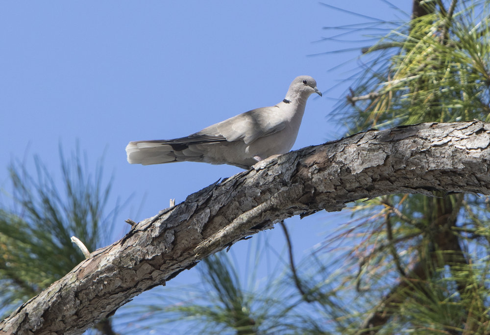 dove 2 in pine closer.jpg