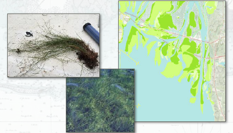 Seagrasses and mapping of potential impacts.  Image- United States Army Corps of Engineers