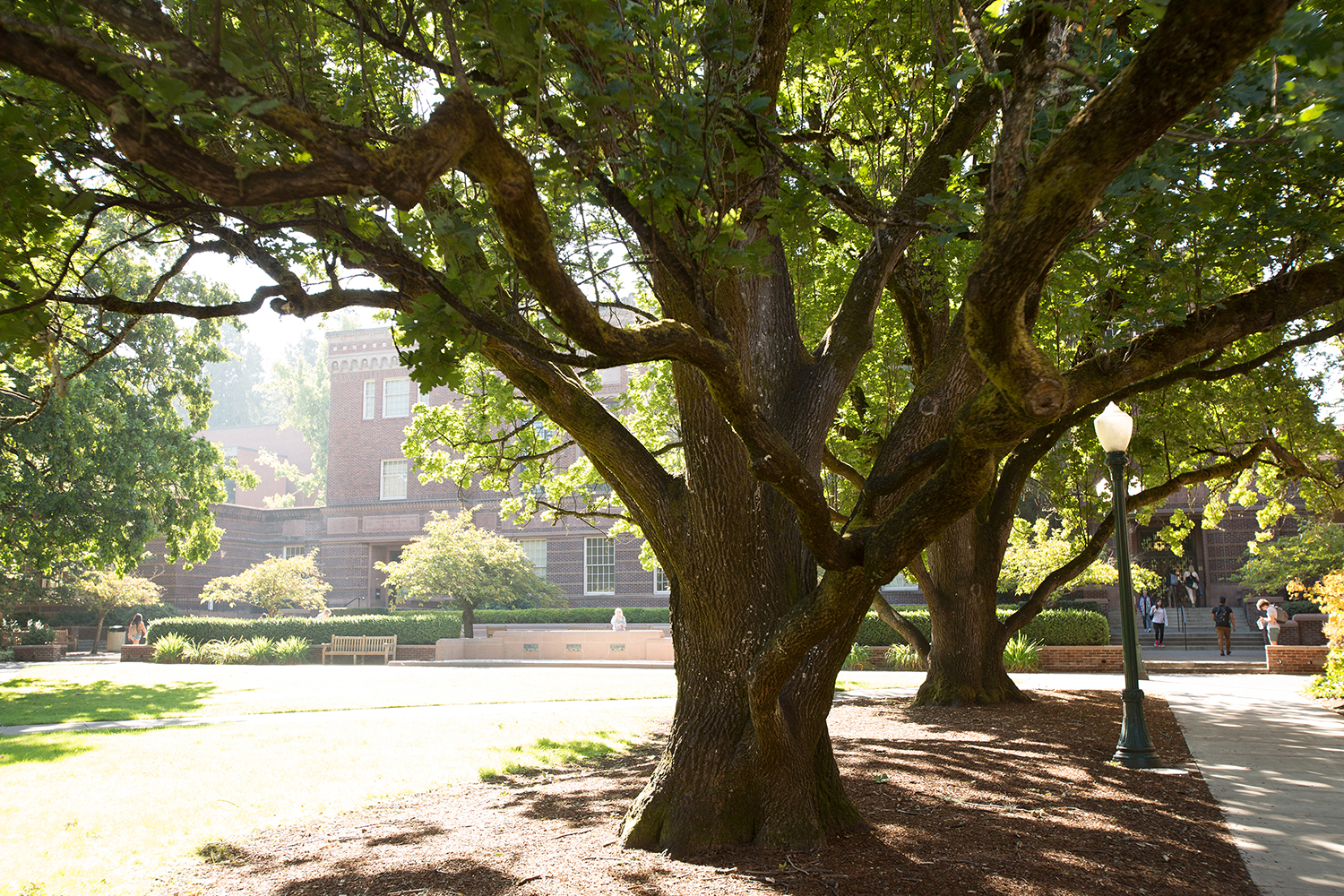 Eugene, Oregon: Trees of the University of Oregon — Jane ...