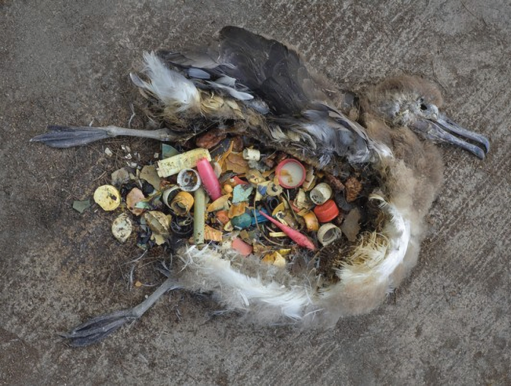 Learn the devastating effect of plastic bottle cap pollution on the Albatross species in a new documentary Albatross. - By Chris Jordan