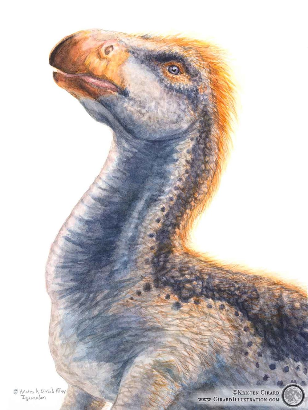 Watercolor illustration Kristen Girard painted of the herbivorous dinosaur  Iguanodon angelicus . Take a look at her collection of paleo art that features more dinosaurs by  clicking here.  Limited edition prints and other great finds are available in the Art Store,  click here to check it out .  Iguanodon angelicus © 2016 by Kristen Girard.