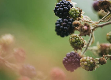 A Hymn for the Himalayan Blackberry - Visions of what post-apocalyptic snacks. For Edible Seattle.