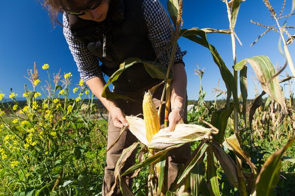 New World, Old Ways - A crowd-powered sweet corn breeding project brings this warm-weather crop to the chilly Olympic Peninsula. For Edible Seattle.Photography by Nolan Calisch