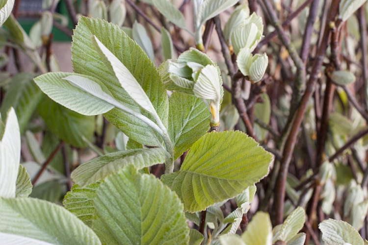 British Flowers Week 2015 Day 2 Foliage - White Leaf (Sorbus) - Presented to you by New Covent Garden Flower Market