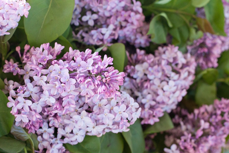 British Flowers Week 2015 Day 2 Foliage - Lilac - Presented to you by New Covent Garden Flower Market