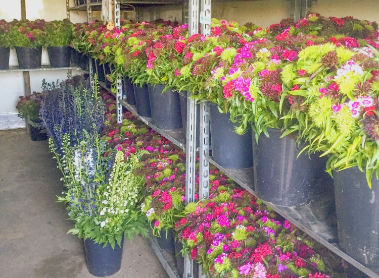 British Flowers Week 2016, J.W. Tyrrell & Son, Sweet Williams and Delphiniums in cold store presented to you by New Covent Garden Flower Market and the NFU