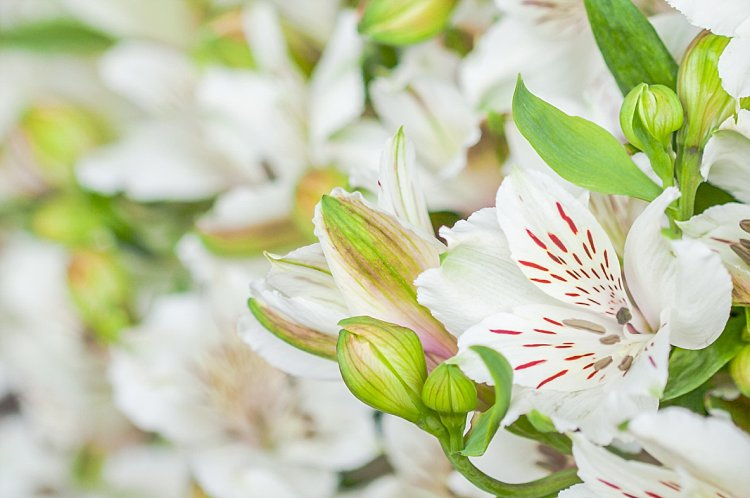 Day 5 British Flowers Week 2016 with white British Alstroemeria presented to you by New Covent Garden Flower Market