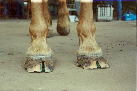 best treatment for cracked heels in horses