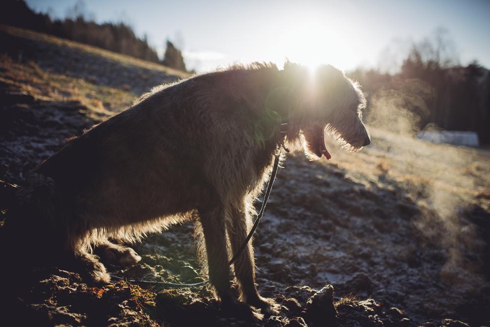 Ulvehund i solnedgang