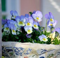 208x200xpansies.png.pagespeed.ic.lKkmgNx-g2.jpg