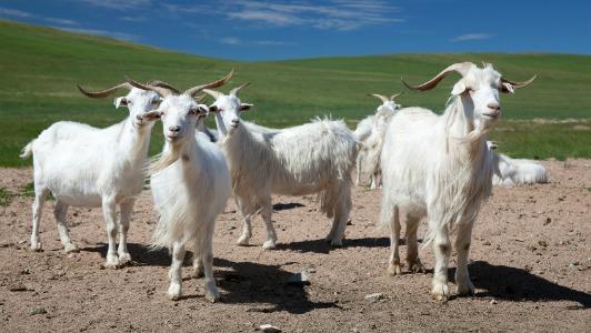 cg-inner-mongolia-cashmere-goats.jpg