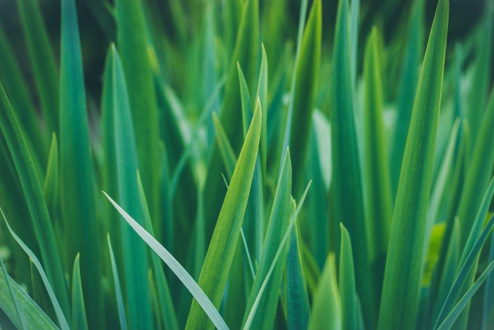 grass-plant-field-lawn-meadow-leaf-1403064-pxhere.com.jpg