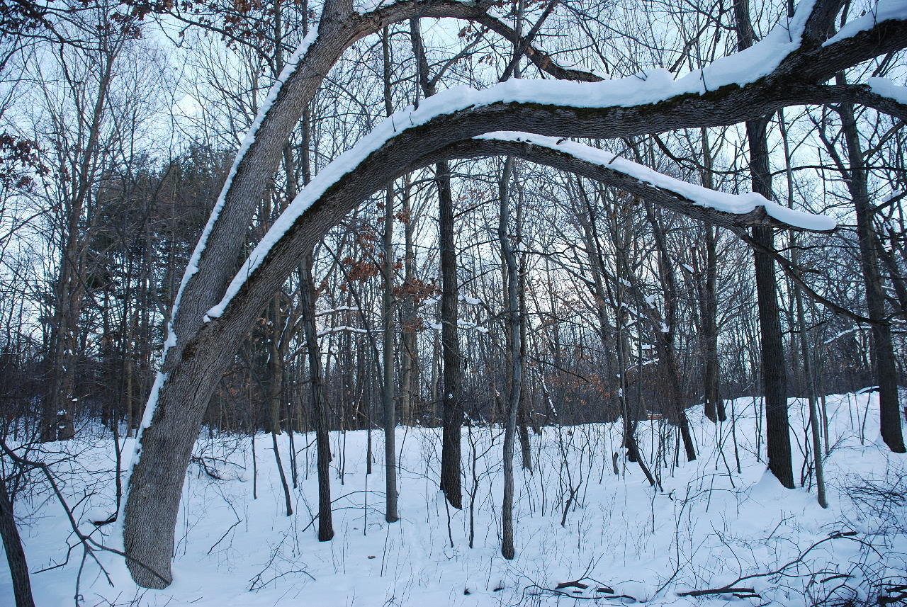 hra-snowy-arched-tree-012109