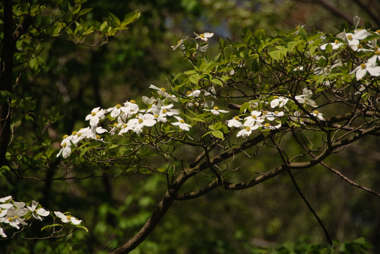 Dogwood Blooms HRA 1280x1024 052009 DSC_6865