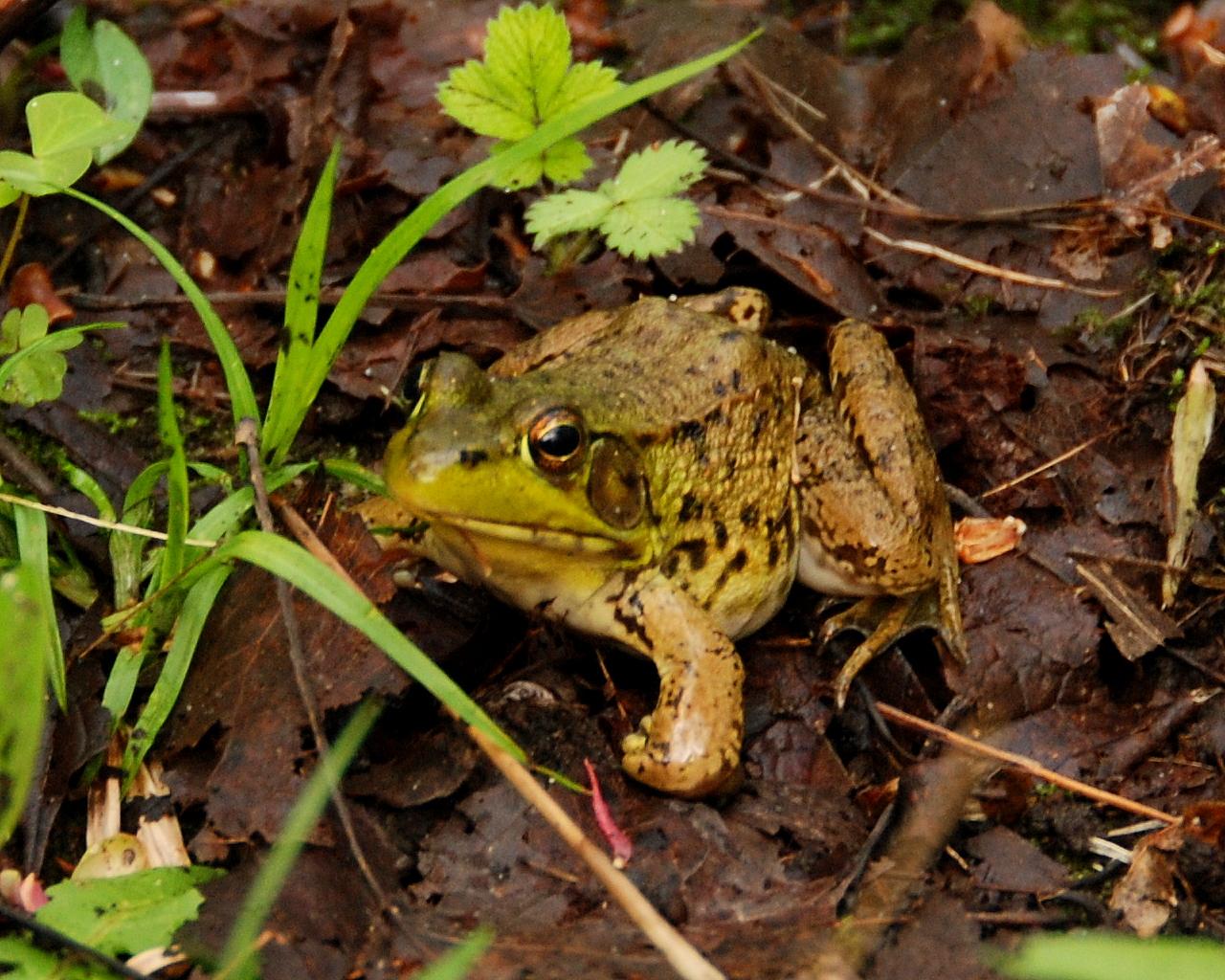 HRA Spring Frog Crop DSC_6167