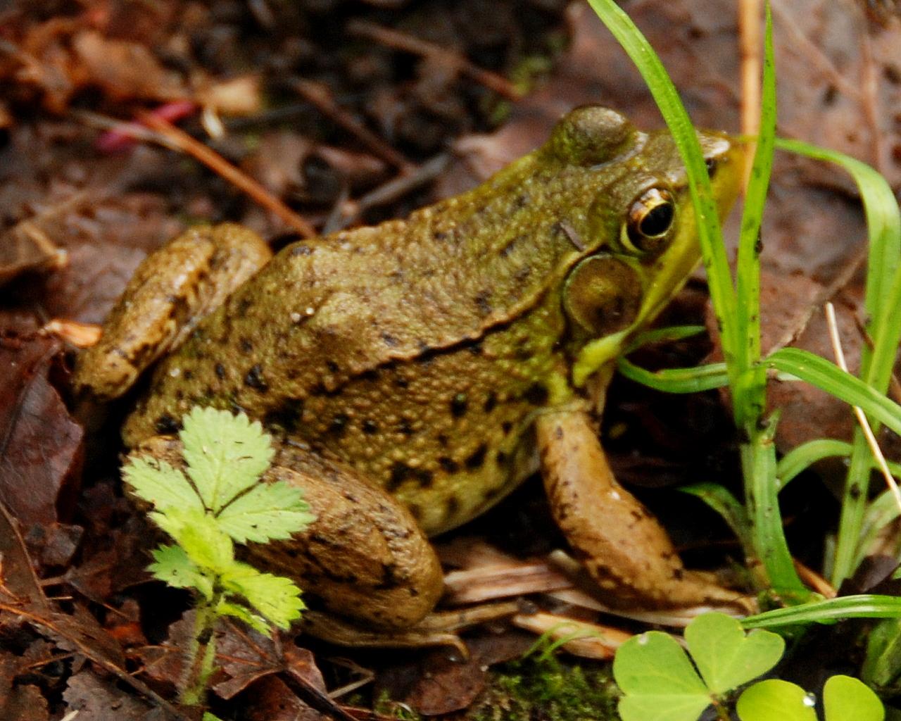 HRA Spring Frog DSC_6163