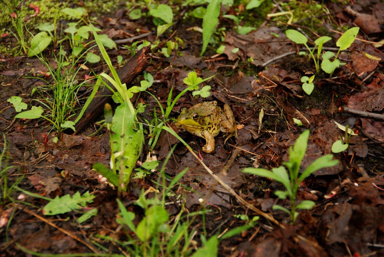 HRA Spring Frog DSC_6167