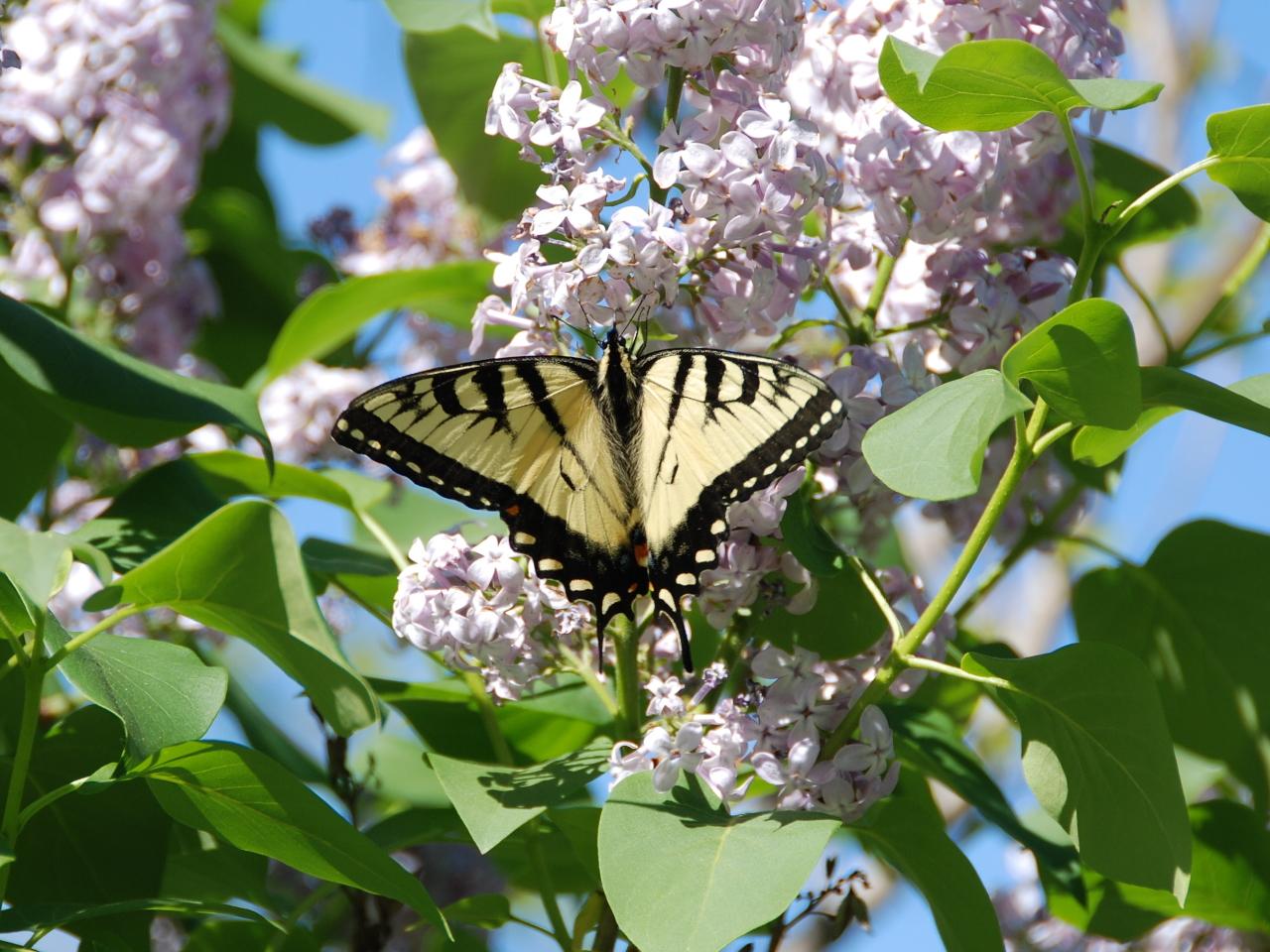 Swallowtail HRA 1280x1024 052009 DSC_6844