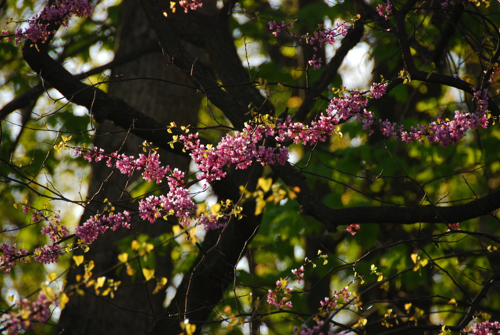 Haven Hill Redbuds 043010 DSC_7206 1280x1024.jpg