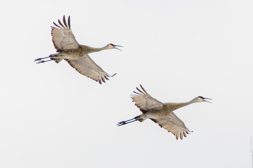 Sandhill Cranes Return - 032414 - JLF.jpg
