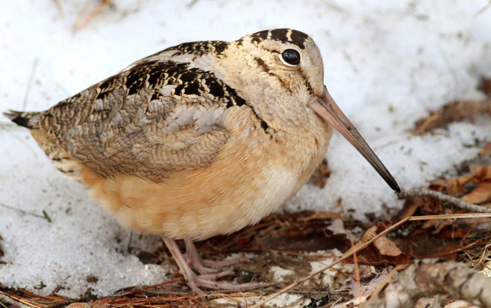 Woodcock: Photo courtesy Audubon Society.
