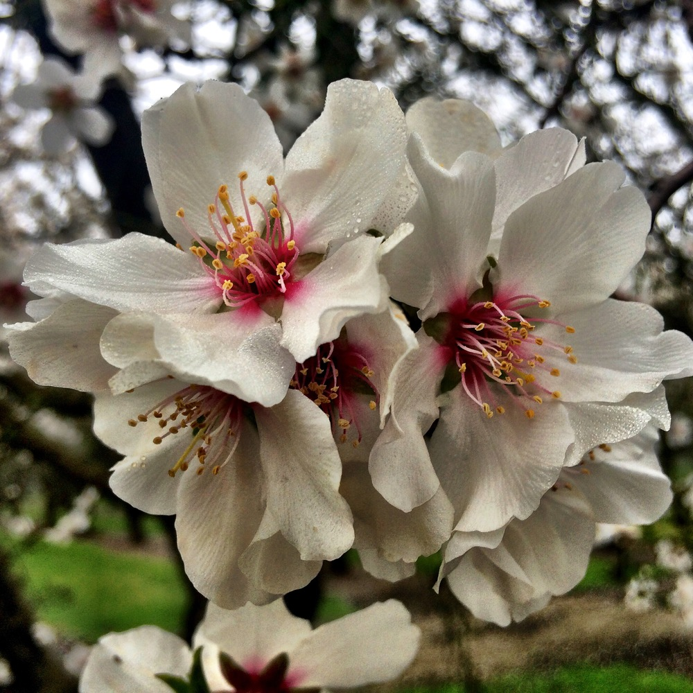 ALMOND BLOSSOMS IN FULL BLOOM