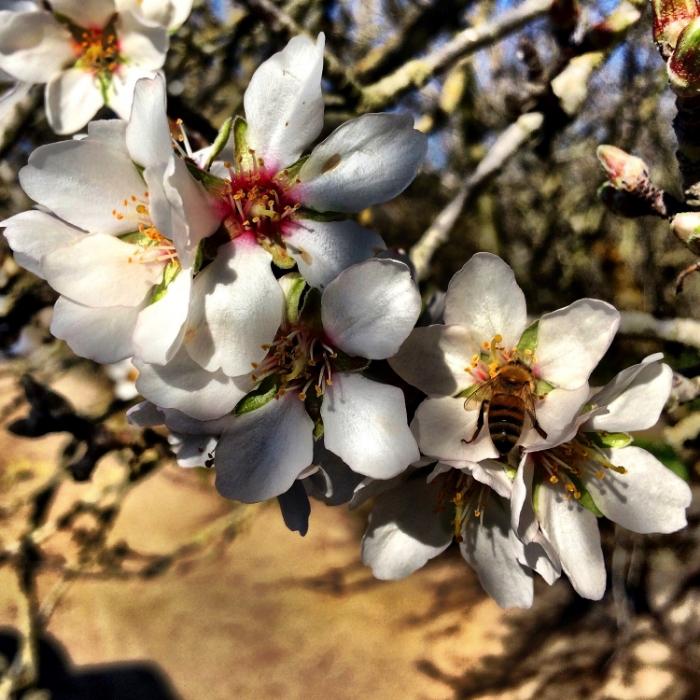 BEES HARD AT WORK POLLINATING BLOSSOMS