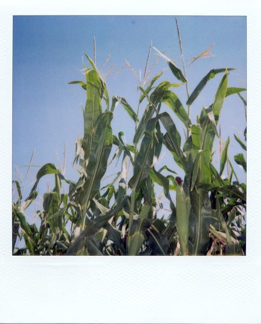 OK Corn 2.JPG