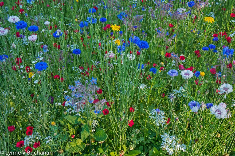 Summer Wildflowers, Bois de Boulogne