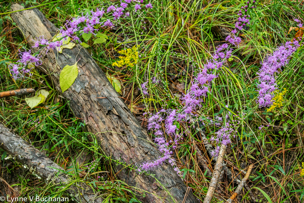 Purple Blazing Stars, Torreya State Park