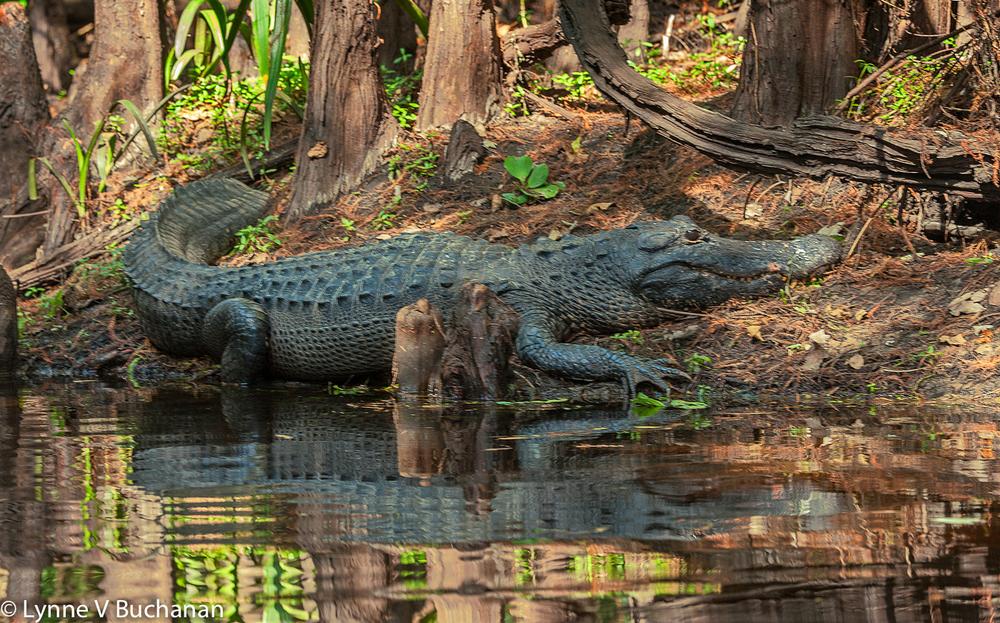 Alligator Querying my Purpose