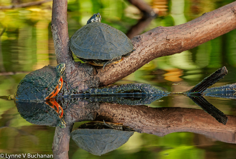 Turtles with Reflections