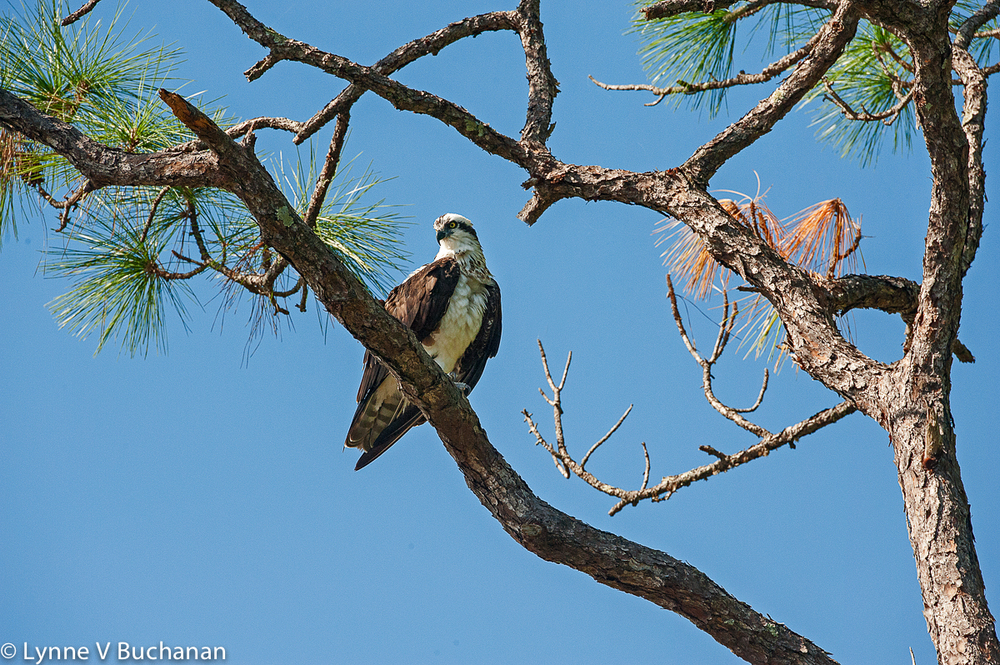 Osprey in the Pines