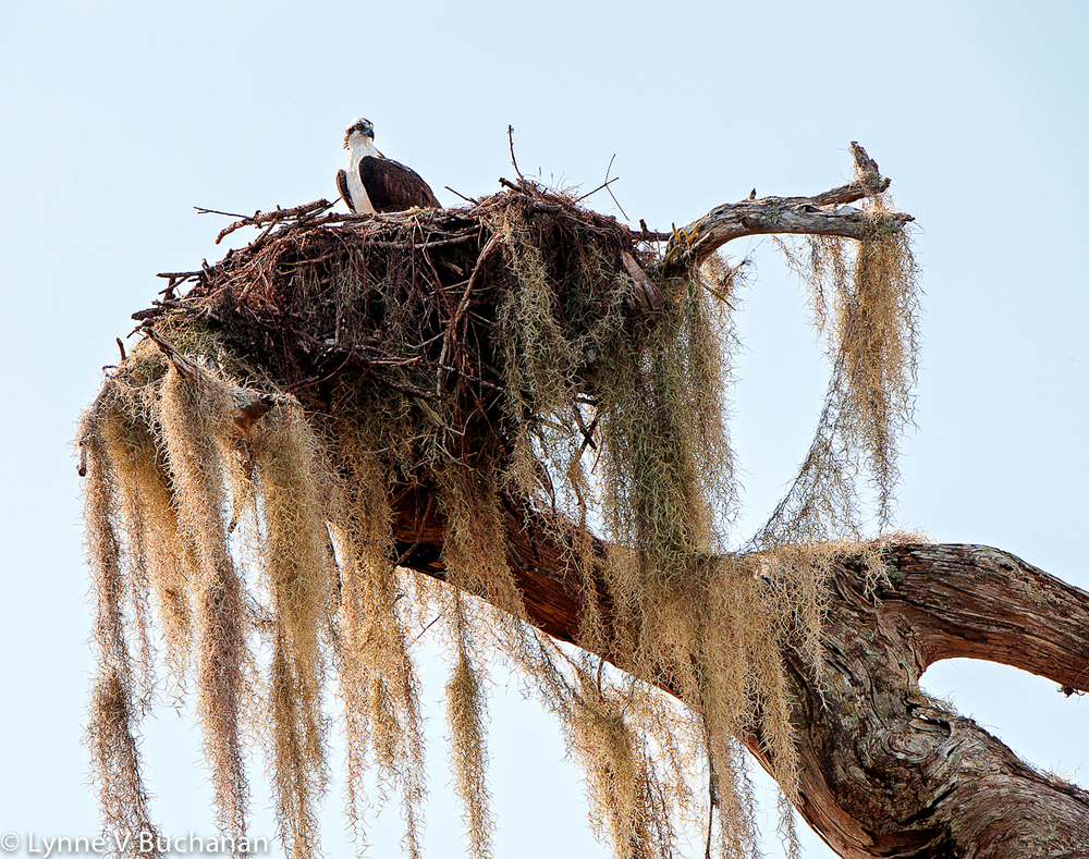 Osprey Tending the Nest