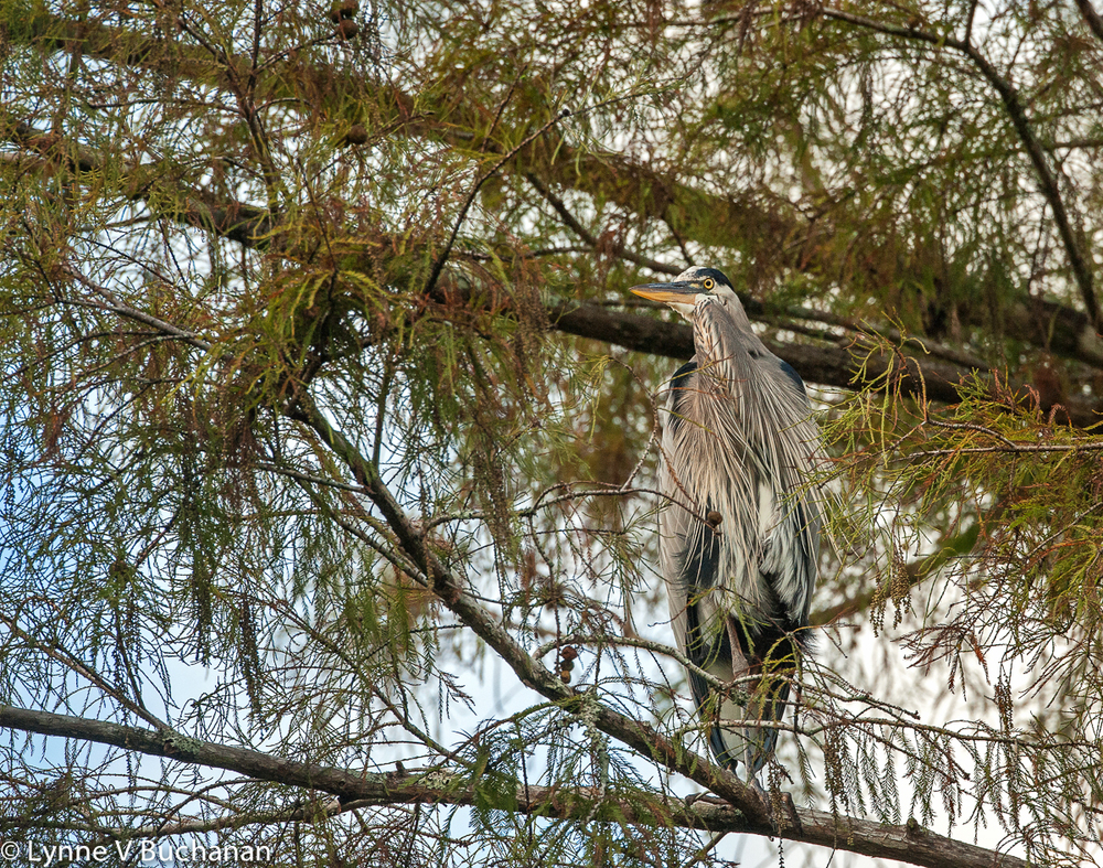Heron in the Cypress