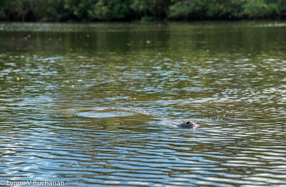 Surfacing Manatee