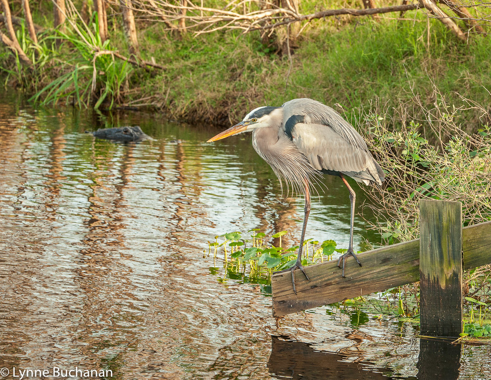 Heron and Alligator Watching