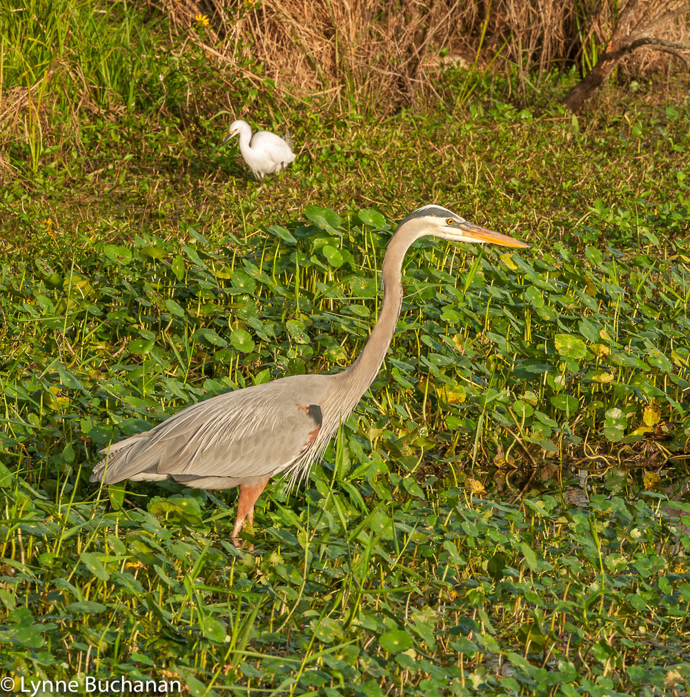 Heron and Egret Wading in the Marsh