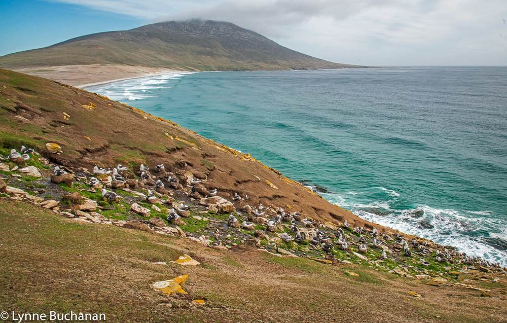 Next we hiked up this big hill to the albatross colony and then a couple of us ventured down the slippery slope to where the mothers were feeding their young.