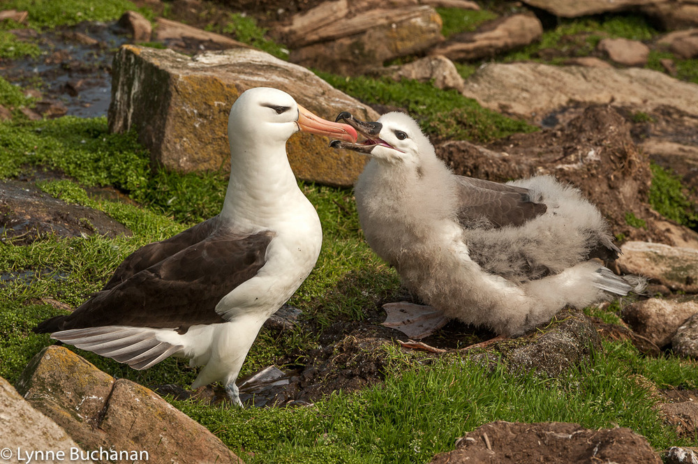 Mother Albatross Feeding her Young