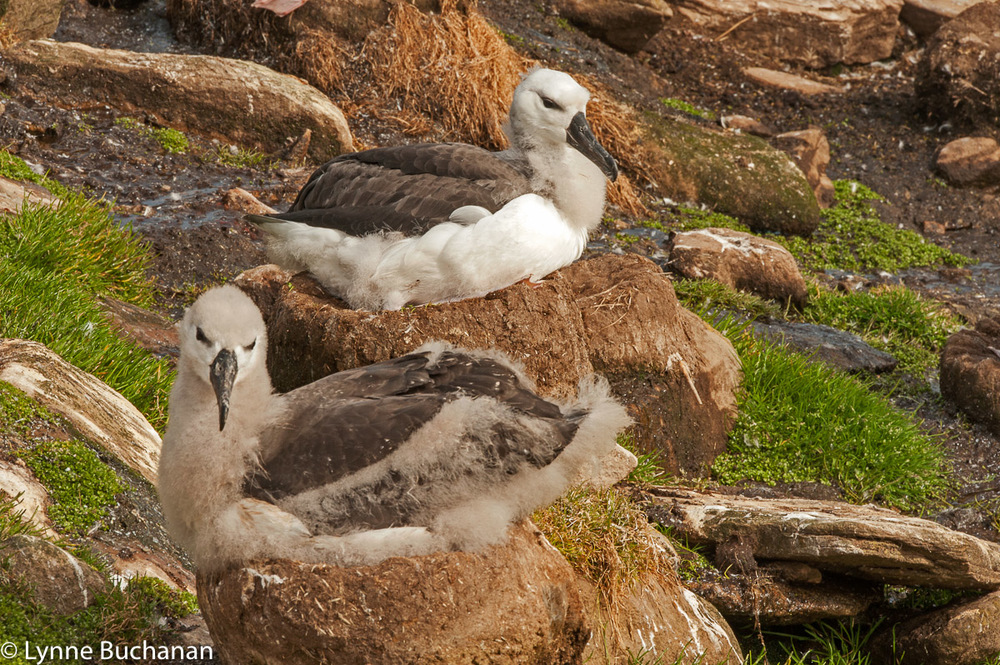 Mother, Baby, and Juvenile Albatross