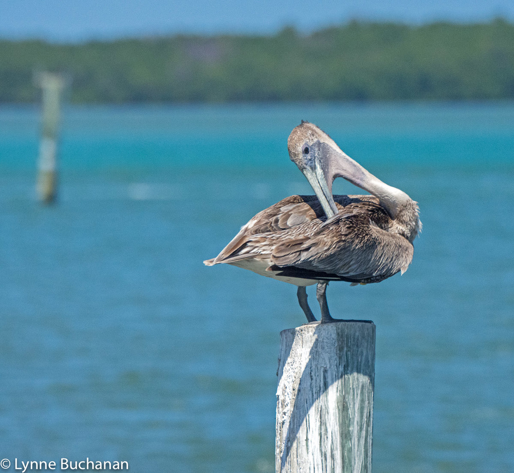 Gaunt Pelican Preening, Indian River Lagoon Near Taylor Creek