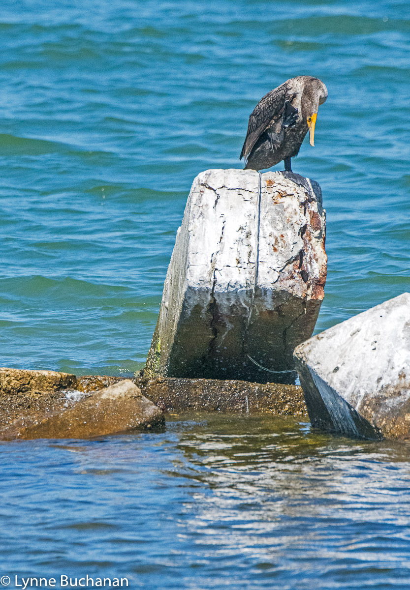 Sick Looking Cormorant Off Taylor Creek